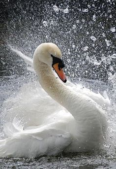 Gorgeous beautiful swan photo of birds. Swan Love, Beautiful Swan, Beautiful Birds, Animals Beautiful, Swans, Cygnus Olor, Animals And Pets, Cute Animals, Mute Swan