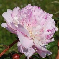 Angel Cheeks - luktpion. Mycket stora, rosa klotformade blommor. Kraftiga stjälkar och en underbar doft. Blomningstid: Mellan, Höjd: 65 cm.