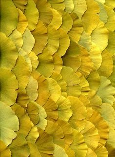 Gingko leaves up close, photo: Fred Michel/Horticultural Art