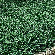 purple wintercreeper - evergreen ground cover; full sun to full shade // nice! seems very versatile