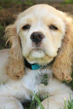 Puppy- Cocker Spaniel