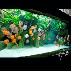 """"""""""" A tank of discus of varying colors. """""""" A tank of discus of varying colors. Diskus Aquarium, Aquarium Terrarium, Nature Aquarium, Aquarium Design, Saltwater Aquarium, Aquarium Ideas, Tropical Freshwater Fish, Freshwater Aquarium Fish, Tropical Fish"""