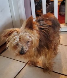 Yorkshire Terrier Rescue Dog for Adoption in Chiefland, Florida - Marley in Chiefland, Florida Chiefland Florida, Free Puppies For Adoption, Yorkshire Terrier Rescue, Paws And Claws, Corgi, Animals, Corgis, Animales, Animaux