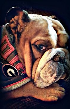 So adorable! - www.99centrazor.com | Baggy Bulldogs
