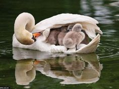 This always amazes me how Mama Swan takes care of her babies!
