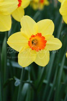 Daffodil - Red Devon