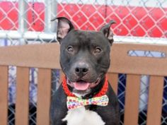 R.I.P LUCINE | MURDERED ON 4/20/16 || TO BE DESTROYED 04/19/16 A volunteer writes: Have you always wanted to bond with your dog over a mutual love of anything bacon? Well then Lucine is your complete canine companion! Surrendered because his owner, who originally found him as a stray, could no longer keep him in his home, Lucine was left with a glowing resume, including his adoration of the piggy treat.
