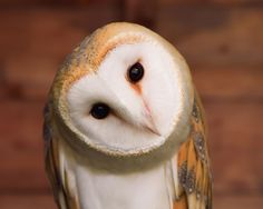 """Barn Owl. OWL WISDOM: """" Never get into fights with ugly owls cuz they haz nuthin' to lose."""""""