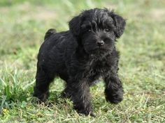 I want a black Schnoodle!
