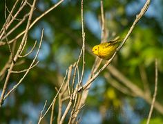 Yellow Warbler (Dendroica petechia) - Mellow Yellow | Show Me Nature Photography