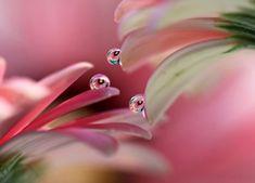 Krople wody na płatkach kwiatów w zbliżeniu Macro Photography, Photography Photos, Gerbera, Pink Daisy, Drop, Wallpaper, Pictures, Daisies, Wifi