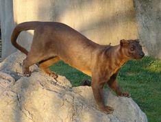 Fossa ou Fosa é um mamífero carnívoro da família Eupleridae. É encontrado na ilha de Madagascar, sendo o maior carnívoro mamífero da ilha. Sua aparência lembra a de um gato alongado, e sua cauda é quase tão comprida quanto o restante do corpo. Wikipédia Nome científico: Cryptoprocta ferox Classificação: Espécie Classificação superior: Cryptoprocta
