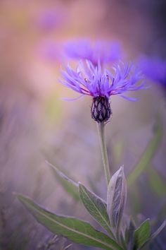 by Peter Spellerberg on Small Flowers, Fresh Flowers, Purple Flowers, Wild Flowers, Beautiful Flowers, Foto Fantasy, Wild Flower Meadow, Garden Frogs, Plants Are Friends