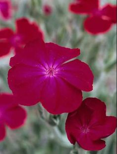 FLOWER PERENNIAL * ROSE CAMPION * HEIRLOOM SEEDS 2013