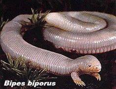 Bipes Biporus Animaux Laids Creature Etrange Animaux Bizarres