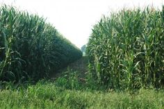 Things to Do: Great Vermont Corn Maze - Danville, VT   8.14.12