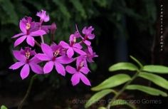 /Flores de orquídea para Vós! Plants, Plant, Planets