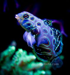 Picturesque Dragonet (Synchiropus picturatus) | Jose Carballada, on Flickr. #reef #fish