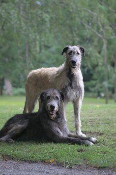 37 Best Irish Wolfhound images | Irish wolfhound ...  Deerhounds