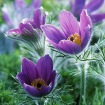 picture of Pulsatilla vulgaris (Pasque Flower) Tropical Flowers, Spring Flowers, Purple Flowers, Wild Flowers, Flower Names, Flower Art, Garden Art, Garden Plants, Alpine Garden