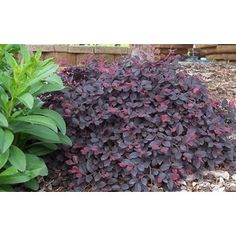purple pixie loropetalum - Easy to grow, low maintenance groundcover shrub holds rich purple foliage year round. Purple Pixie® is great as a border edger, in mass plantings, on slopes or cascading over retaining walls.