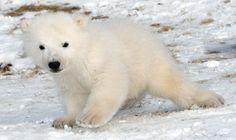 cute baby polar bear. help name it!