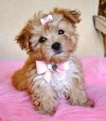 Cute Morkie.