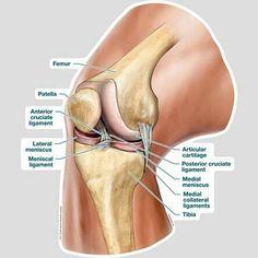 In this image, you may find Knee Patella Bone Anatomy in it. Anatomy Bones, Yoga Anatomy, Human Body Anatomy, Human Anatomy And Physiology, Muscle Anatomy, Anatomy Of The Knee, Human Knee, Medical Anatomy, Massage Therapy