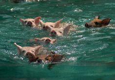Piggies Swimming