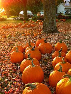 Pumpkins nestled in fallen leaves!