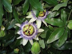 Passion Flowers which the bees love.