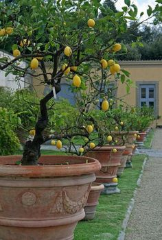 Potted lemon trees in a row                                                                                                                                                      More