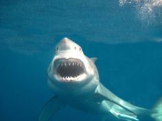 Tick shark cage diving off your Bucket List and come for a dive now. We saw 11 sharks on our charter yesterday. Megalodon, Orcas, Species Of Sharks, Small Shark, Shark Photos, Wale, Underwater Life, Great White Shark, Ocean Creatures