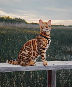 Cat Body Language - Cute Cats - How to make friends with my cat?You can find Bengal cats and more on our website.Cat Body Language - Cute Cats - How to make friends with my cat? Warrior Cats, Cute Cats And Kittens, Cool Cats, Ragdoll Kittens, Tabby Cats, Funny Kittens, Adorable Kittens, Pretty Cats, Beautiful Cats