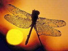 Dragonfly and morning