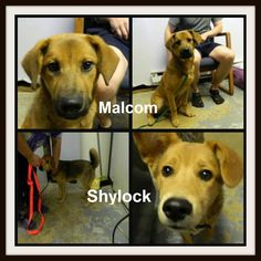 URGENT!!!  Malcom & Shylock – Shepherd Pike County – Waverly, OH (bs) These 2 guys are just adorable!! They are stuck at the moment in a full shelter and need out ASAP! Please do not call the pound if you can help these 2 cuties….email Wayne at zebraswd@yahoo.com with any questions. Shylock was picked up as a stray. He is very inquistive and loves to investigate. He is very people friendly. He was picked up with his brother, Malcolm. ( please adopt us together. We will be very lonely without…