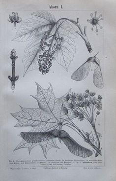 AHORN I. II. 1893 Original Alter Druck Antique Print Lithographie Baum