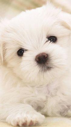 Animal-puppy-retriever-golden-wallpaper-maltese-1136x640