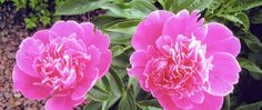 I inherited my love of peonies from my Grandmother. www.marianneperry.ca