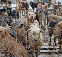 Om Svetlana zwaar onder druk te zetten, werden enkele van deze honden gruwelijk gedood. - See more at: http://dierennood.nl/74e-hulpactie-van-de-maand/#sthash.dBgBakLe.dpuf