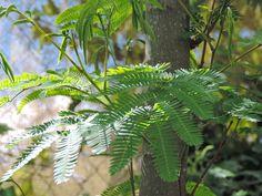 Acacia de Constantinopla, Albizia, Arbol de la seda, Parasol de la China http://www.elhogarnatural.com/Arboles.htm