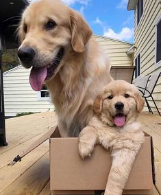 ✔ Cute Dogs And Puppies Breeds Super Cute Puppies, Cute Baby Dogs, Cute Dogs And Puppies, Doggies, Chien Golden Retriever, Retriever Dog, Golden Retrievers, Cute Animal Pictures, Dog Pictures
