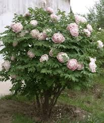 tree peonies - Google Search