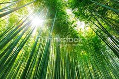 ストックフォト : Bamboo forest