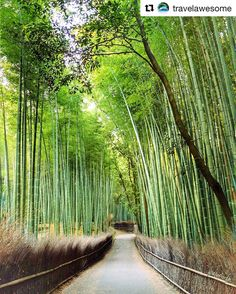Bamboo lined paths lead the way to new #discoveries in #Kyoto. #Japan #Forest #TravelGram #InstaTravel via- @travelawesome
