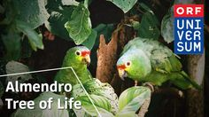 Almendro Tree of Life - The Secrets of Nature - 'PROYECTO LAPA VERDE'  Saving the Green McCaw