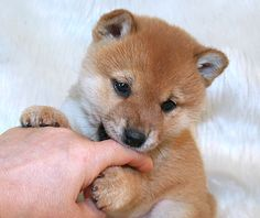 shiba  puppy  柴犬 ブリーダー 子犬