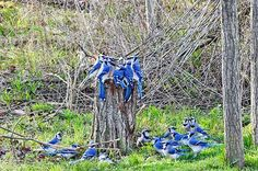 Blue jays gather for what looks like an important bird meeting. How would you caption this funny photo? Jay Bird, Blue Bird, Bird Pictures, Pictures To Paint, Wild Birds Unlimited, Funny Birds, Funny Squirrel, Spring Birds, Backyard Projects