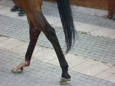Corsa Buoi anno 2013 Chieuti (FG) STOP ALLA BARBARIE! Protesta anche tu contro questa corsa che calpesta i diritti degli animali.