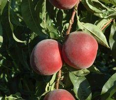 POMI FRUCTIFERI Smoothie, Peach, Fruit, Smoothies, Peaches